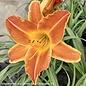 #1 Hemerocallis Bright Sunset/Daylily