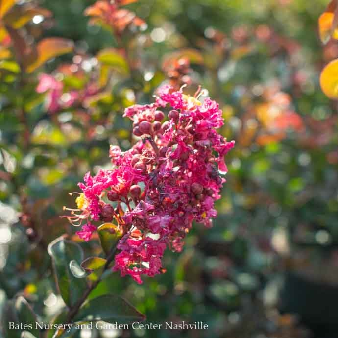 #2 Lagerstroemia Dazzle Assorted/Pink or White Crape Myrtle Dwarf