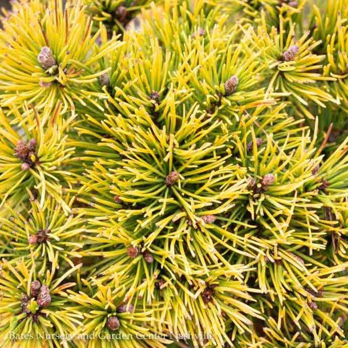 #5 Pinus mugo Carstens Wintergold/Dwarf Pine