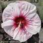 #3 Hibiscus Perfect Storm/Hardy White with Pink