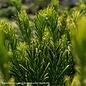 #3 Cephalotaxus harringtonia Fritz Huber/Japanese Plum Yew