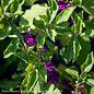 #1 Callicarpa americana/Beautyberry