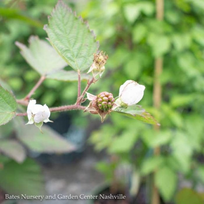 Edible #1 Rubus Navaho/Thornless Blackberry