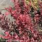 #3 Berberis thun Rosy Glow/Barberry
