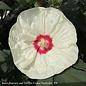 #3 Hibiscus French Vanilla/Hardy