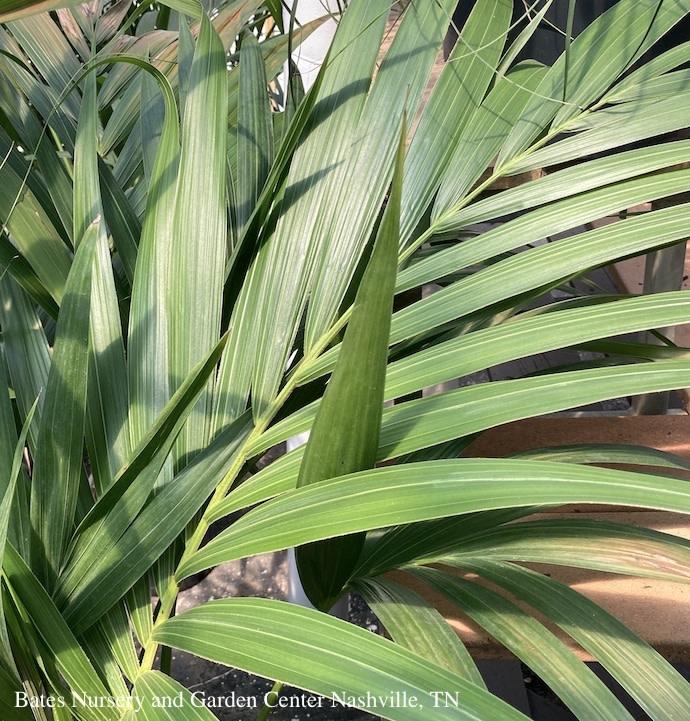 10p! Howea for / Kentia Palm /Tropical