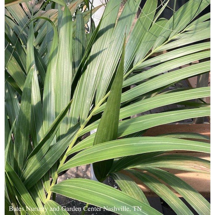 12p! Howea for / Kentia Palm /Tropical 6ft +