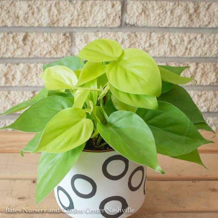 4p! Philodendron Lemon Lime /Tropical