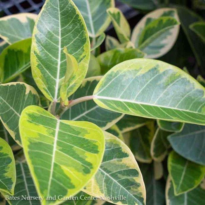 8p! Ficus Altissima Variegated BUSH /Tropical