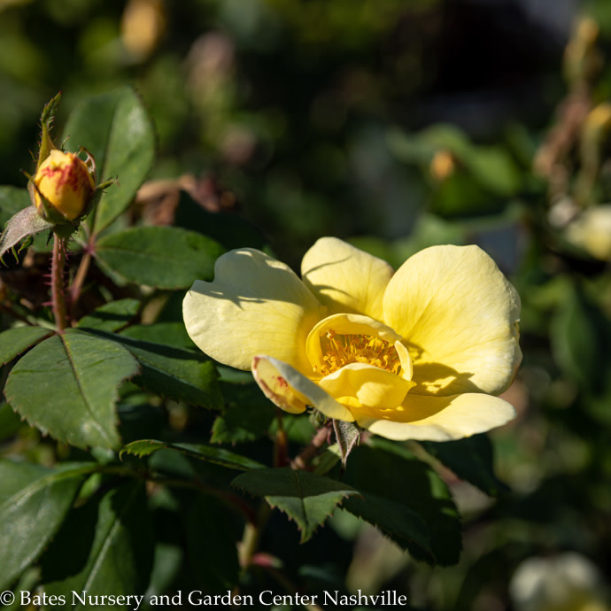 #2 Rosa Knock Out Sunny/Yellow Shrub Rose NO WARRANTY