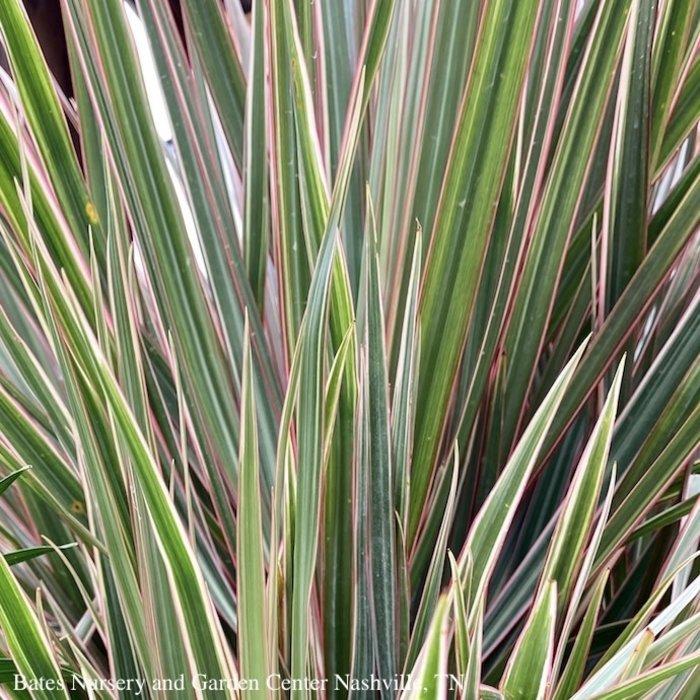 14p! Dracaena Marginata Bicolor Zulu Weave /Tropical