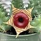 4p! Cactus Lifesaver Plant /Tropical
