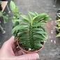 3p! Pedilanthus Devil's Backbone Succulent /Tropical
