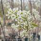 #15 Amelanchier Autumn Brilliance/Serviceberry Clump Multi Stemmed