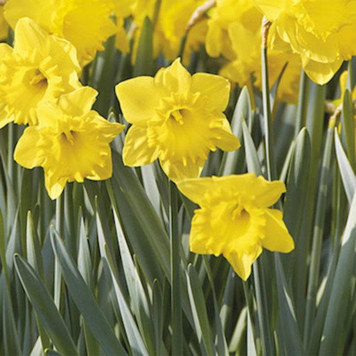 Bulb Daffodil/Narcissus Dutch Master 8/pk