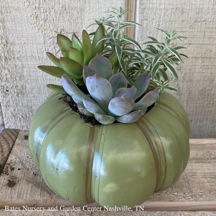 5P Succulent Heirloom Pumpkin