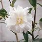 #3 Camellia x Snow Flurry/White No Warranty