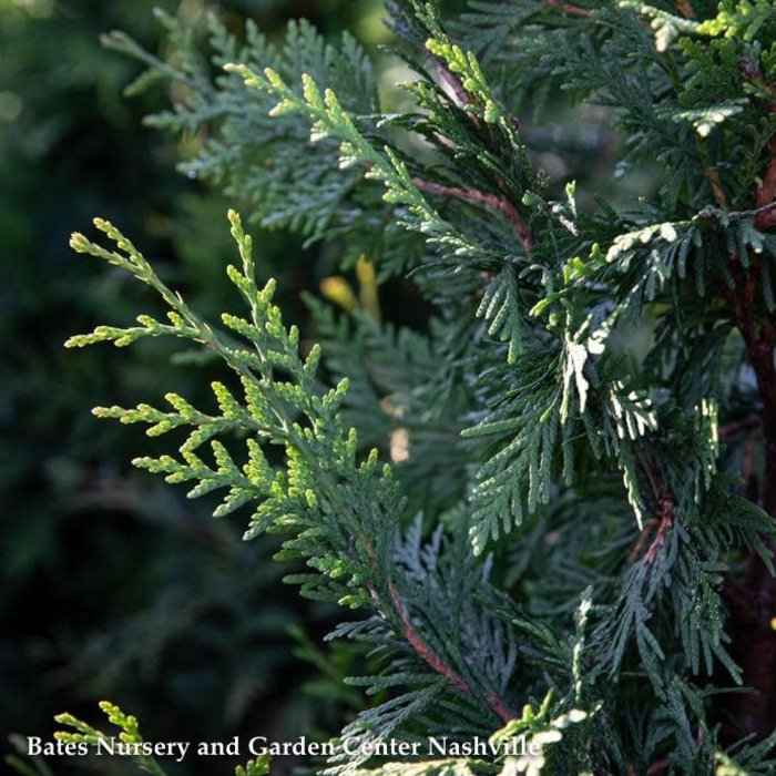 #25 Thuja (standish x plicata) 'Green Giant'/Western Arborvitae 6ft