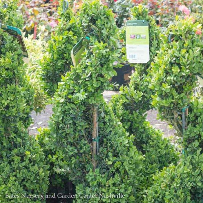 Topiary Spiral #7 Buxus Green Mountain/Boxwood