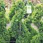 Topiary Spiral #2 Buxus Green Mountain/Boxwood