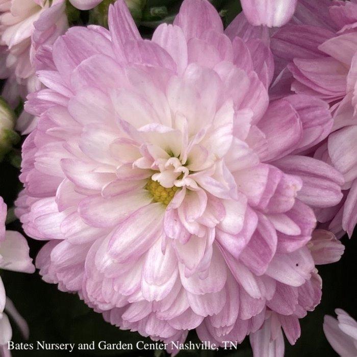 12P Chrysanthemum/Mum Assorted Black Pot 24.99
