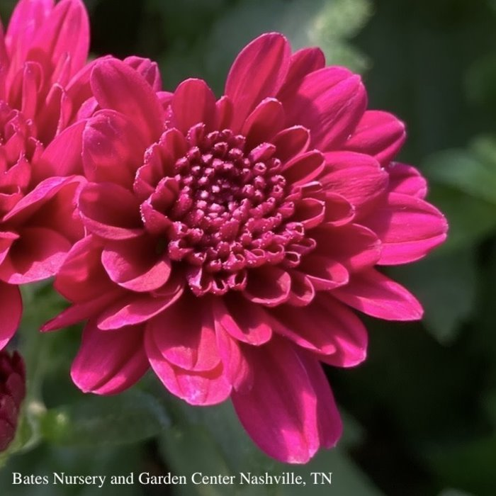 #2/9P Chrysanthemum assorted/Mum
