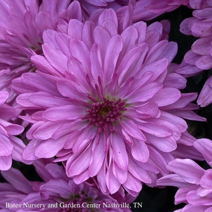 10.5P Chrysanthemum Mum Planter