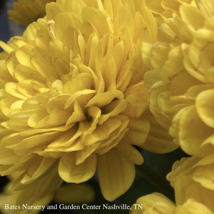 #2/10P Mum/Chrysanthemum Assorted Colors 14.99