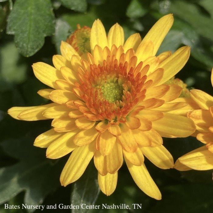 #2/10P Chrysanthemum Assorted/Mum 14.99
