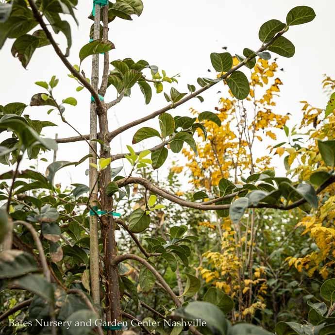 #30 Chionanthus retusus/Chinese Fringetree