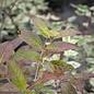 #3 Cephalanthus occ/Buttonbush