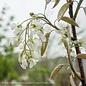 #5 Amelanchier canadensis/Shadblow Serviceberry Native