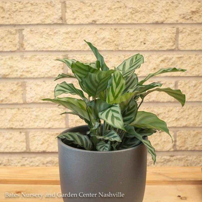 4p! Calathea Freddie /Tropical