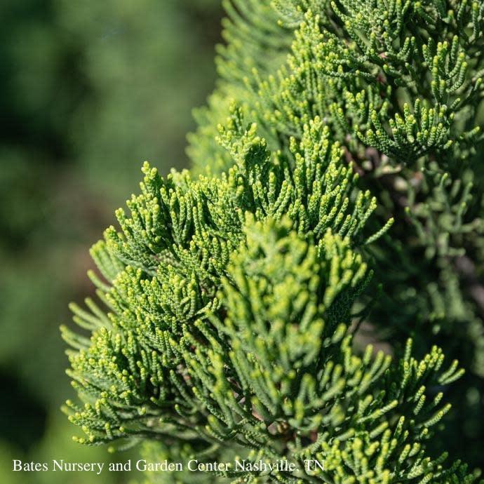 #10 Juniperus chin Torulosa/Hollywood Chinese Juniper Upright