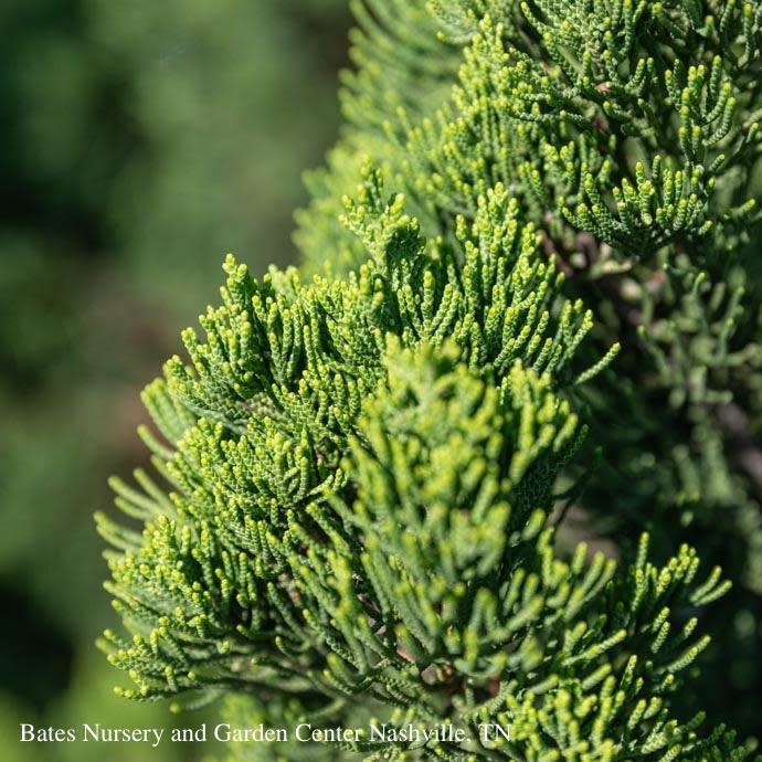#3 Juniperus chin Torulosa/Hollywood Chinese Juniper Upright