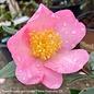 #3 Camellia x  Winter's Star/Pink Single No Warranty