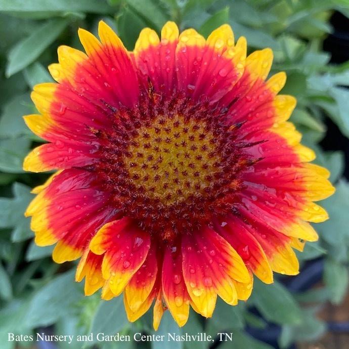 #1 Gaillardia Arizona Sun/Blanket Flower