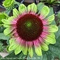 #1 Echinacea Sweet Sandia/Coneflower Pink and Green Edges