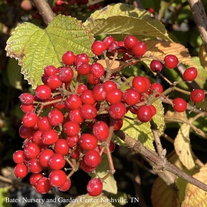 #3 Viburnum dent 'Henneke'/Cardinal Candy