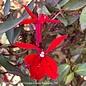 #1 Lobelia Starship Scarlet Bronze Leaf/Cardinal Flower