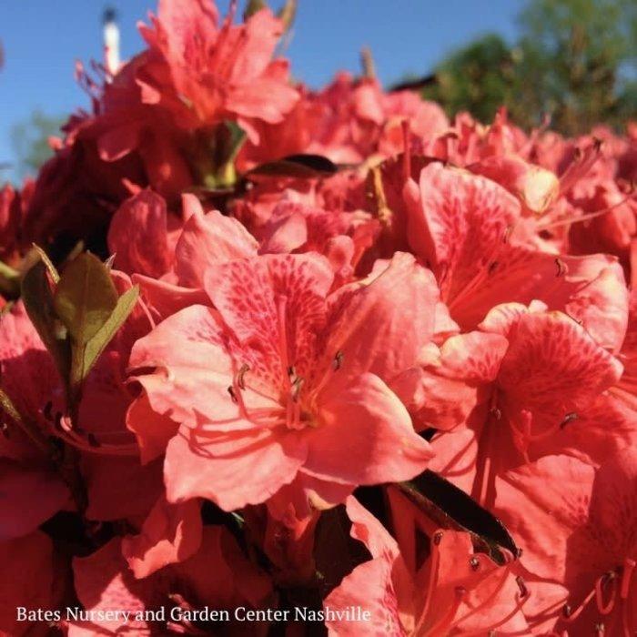 #3 Azalea glenn dale Fashion / Orange-red