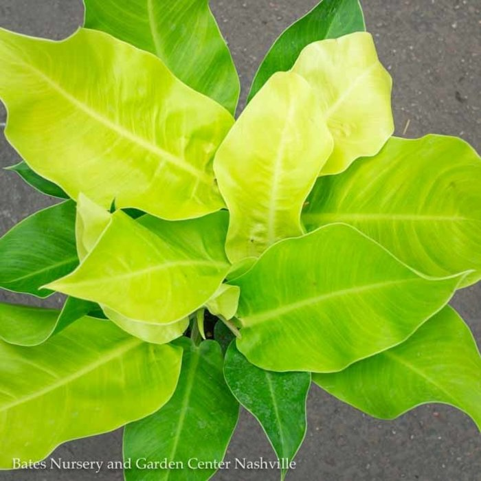 10p! Philodendron Moonlight /Tropical