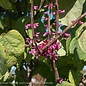 #5 Cercis can The Rising Sun/Redbud CLUMP Chartreuse Foliage
