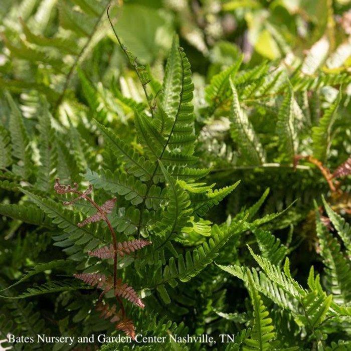 #1 Dryopteris erythrosora Brilliance/Autumn Fern