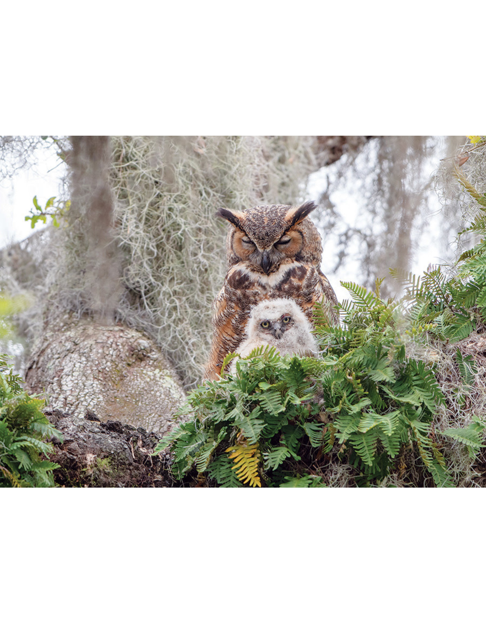 Cobble Hill Puzzles OM80246 Cobblehill Puzzle 1000pc Great Horned Owl