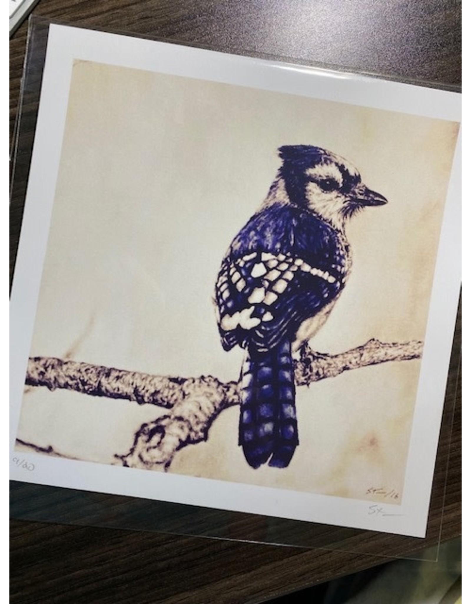 """Stevie Devine SDBLUE 7"""" X 7"""" Bluejay Drawing Print by Stevie Devine"""