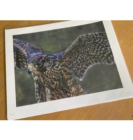 "Stevie Devine SDHAWK 10"" X 13"" Hawk Print by Stevie Devine"