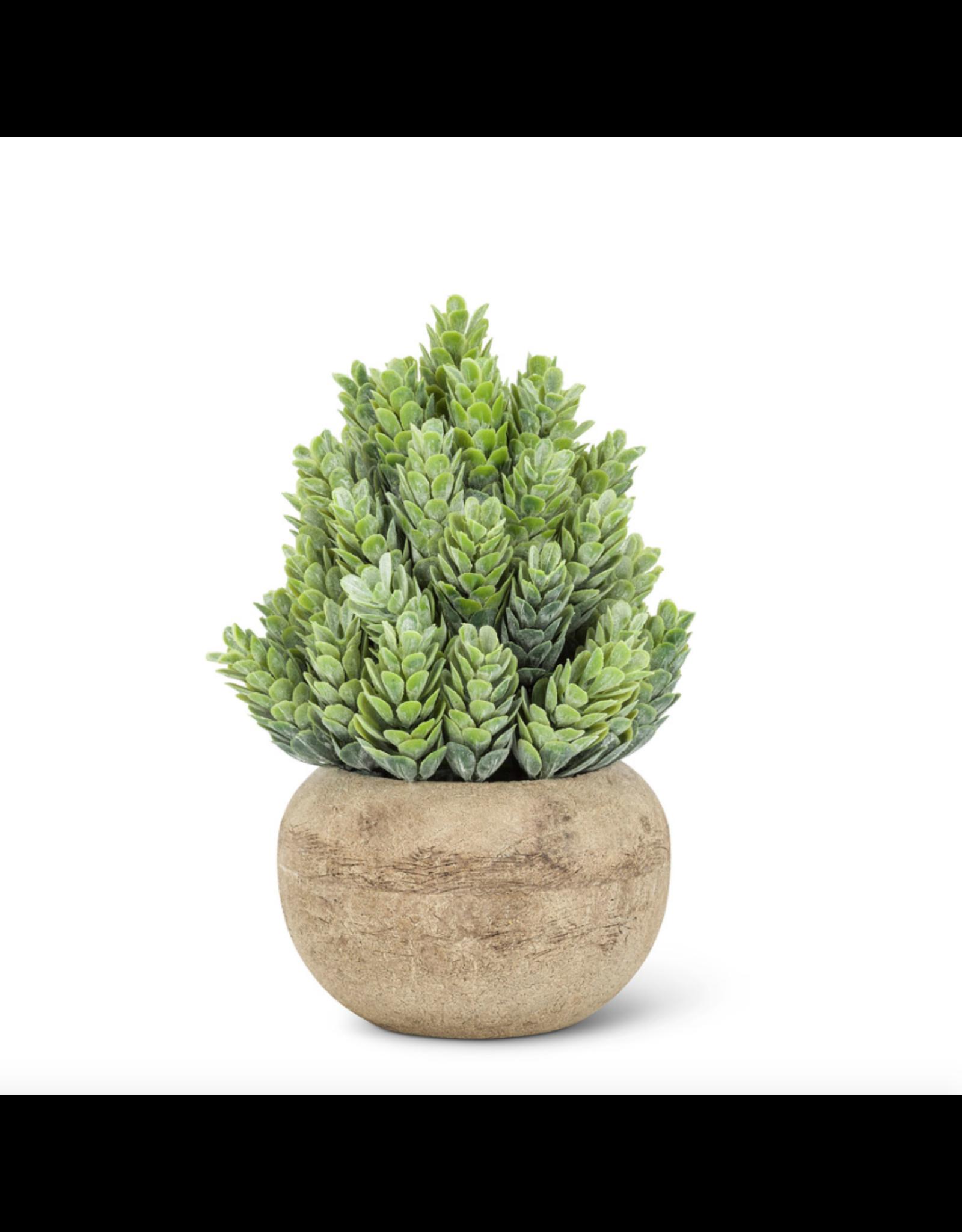 Abbott Small Cone Leaf Plant