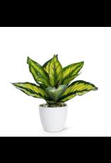 Abbott Medium Varigated Leaf Plant