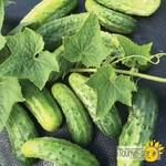 Tourne-Sol H-19 Little Leaf Pickling Cucumber